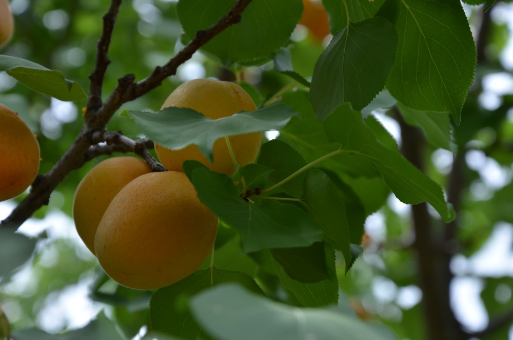 The Apricot Thief in the Summer Garden , Fairy Tale www.bluemesablog.com